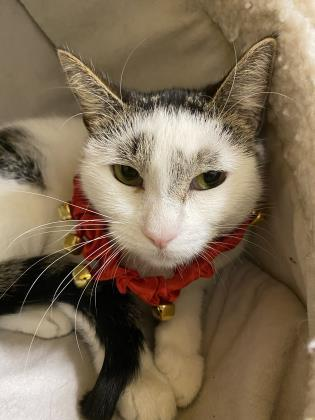 judy, an adoptable Domestic Short Hair in Clarks Summit, PA