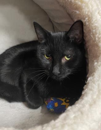 hammie, an adoptable Domestic Short Hair in Clarks Summit, PA