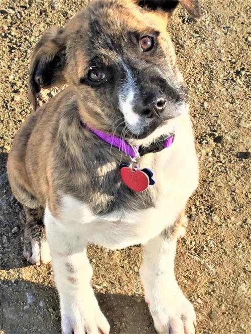 Chevy, an adoptable Shepherd Mix in Winter Park, CO