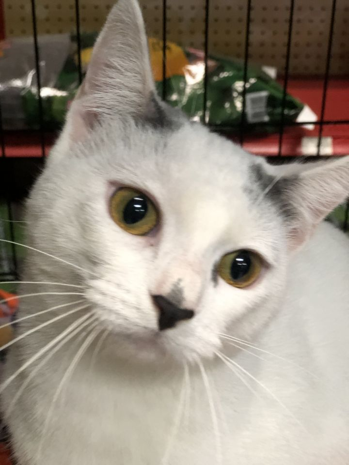 Angel, an adopted Turkish Van & American Shorthair Mix in Mission Viejo, CA