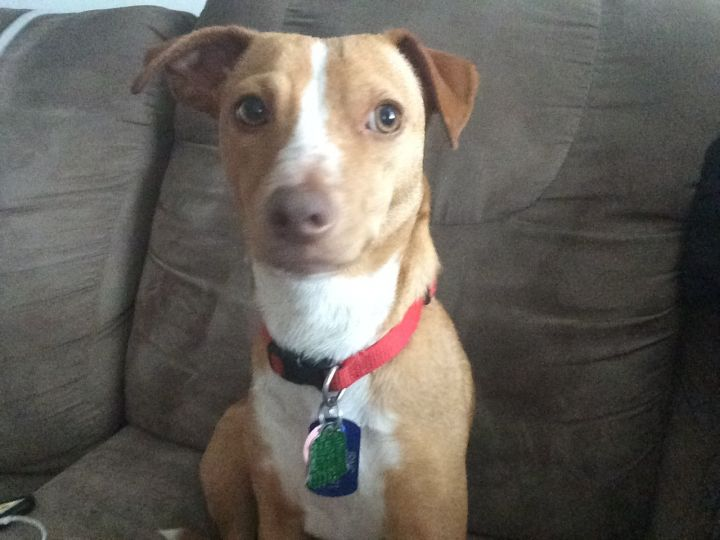 Jasmine, an adopted Terrier & Jack Russell Terrier Mix in Toronto, ON