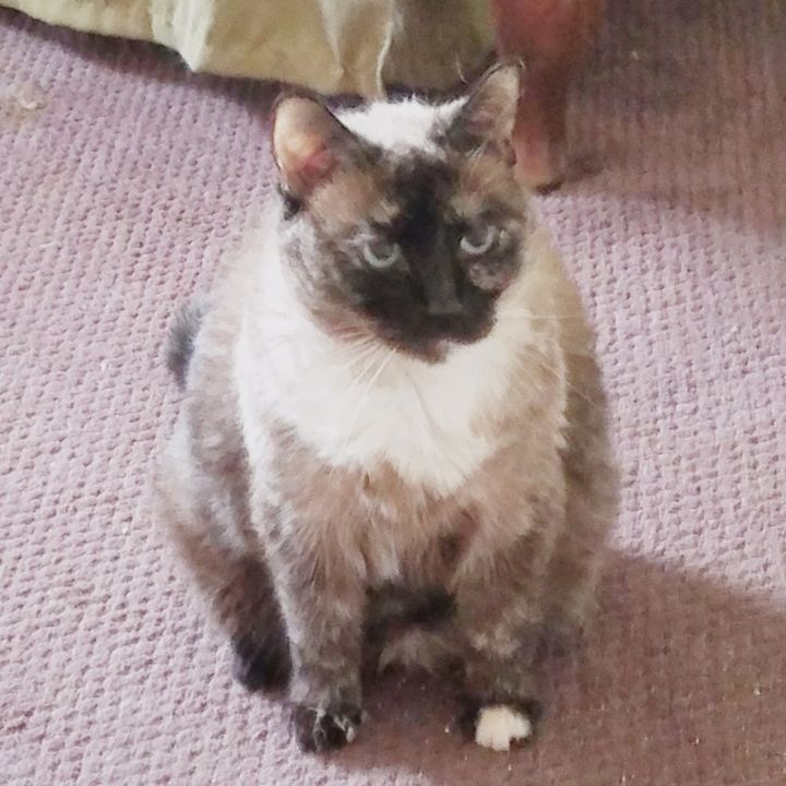 ***Courtesy Listing - Beautiful***, an adoptable Siamese Mix in Clermont, FL