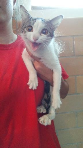 Cat #15 - Darla, adoptable Cat, Adult Female Domestic Short Hair