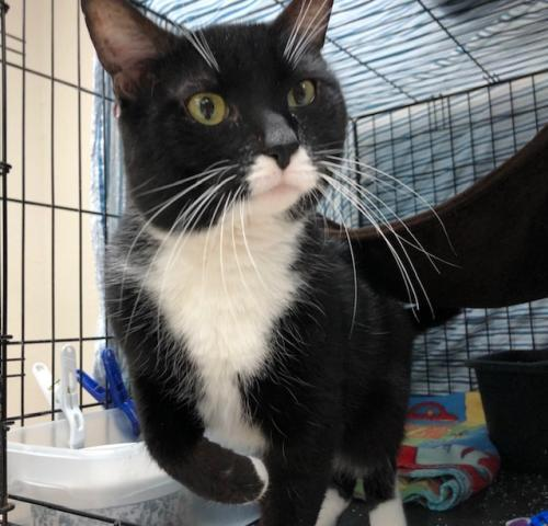 Timmy, an adopted Tuxedo & Domestic Short Hair Mix in Monroe, MI