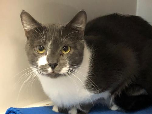 Barney, an adoptable Domestic Short Hair in Monroe, MI