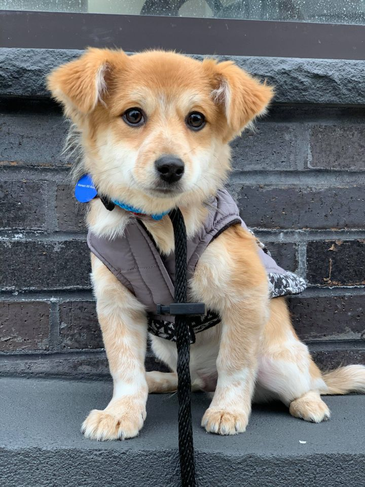 Harry, an adopted Terrier in Long Island City, NY
