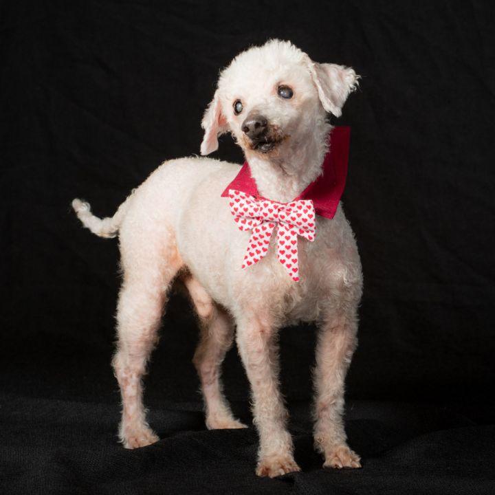 Mortimer (Morti) - Blind Poodle Lap Dog 2