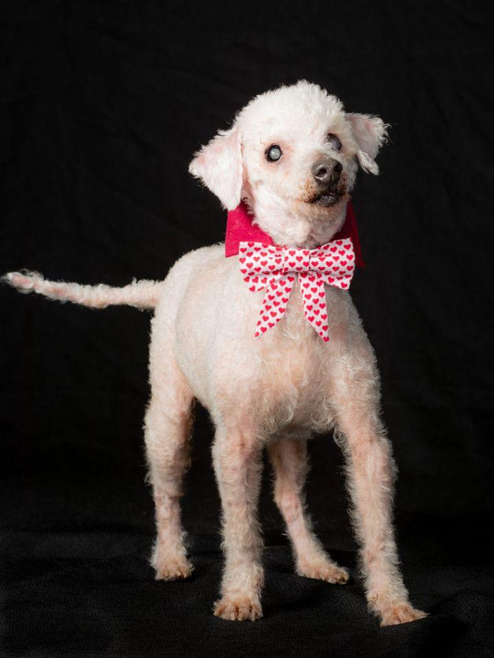 Mortimer (Morti) - Blind Poodle Lap Dog 3