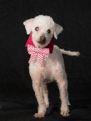 Mortimer (Morti) - Blind Poodle Lap Dog