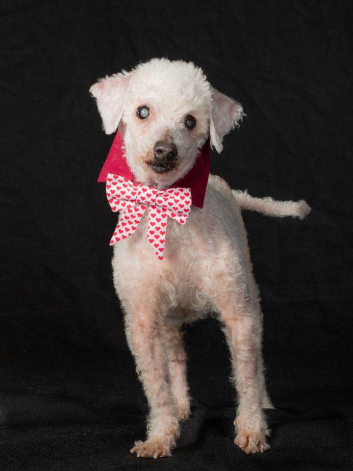 Mortimer (Morti) - Blind Poodle Lap Dog 1
