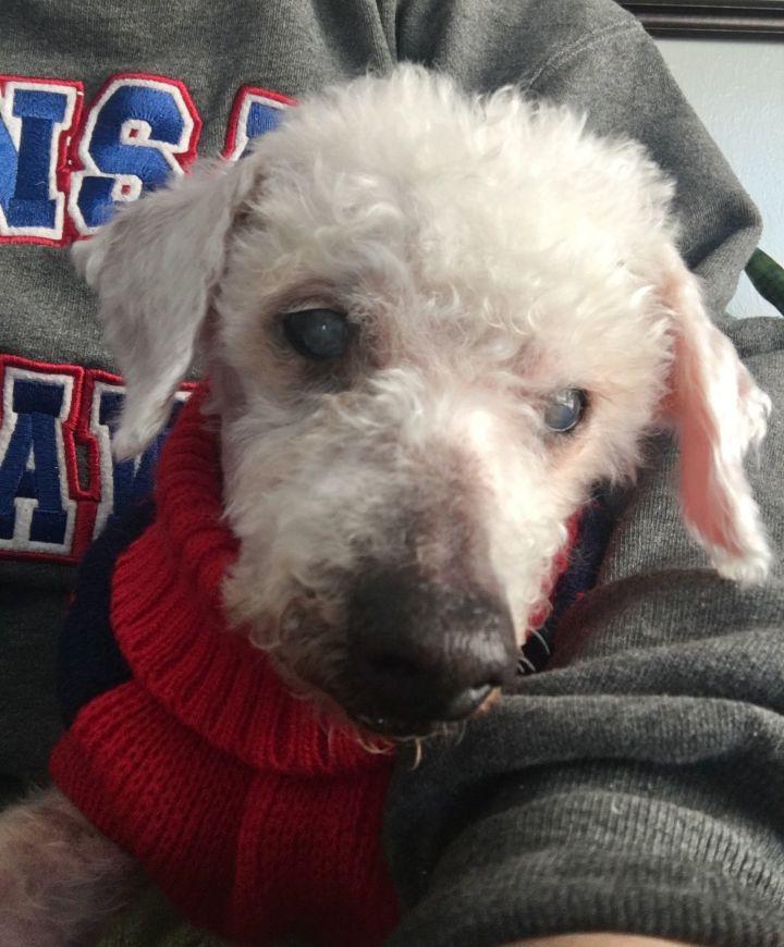 Mortimer (Morti) - Blind Poodle Lap Dog 5