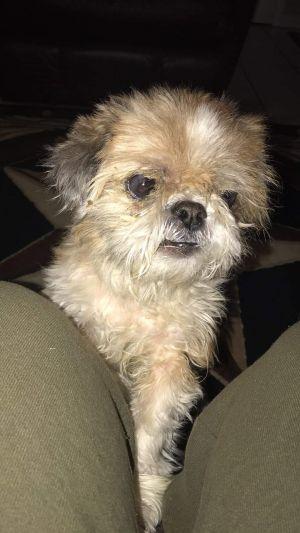 Harris, adoptable Dog, Adult Male Shih Tzu & Lhasa Apso Mix