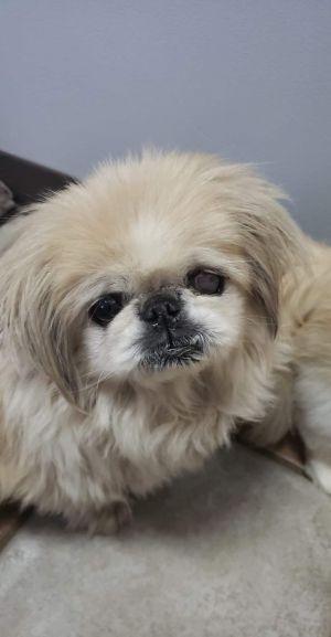 Minty, adoptable Dog, Senior Female Pekingese