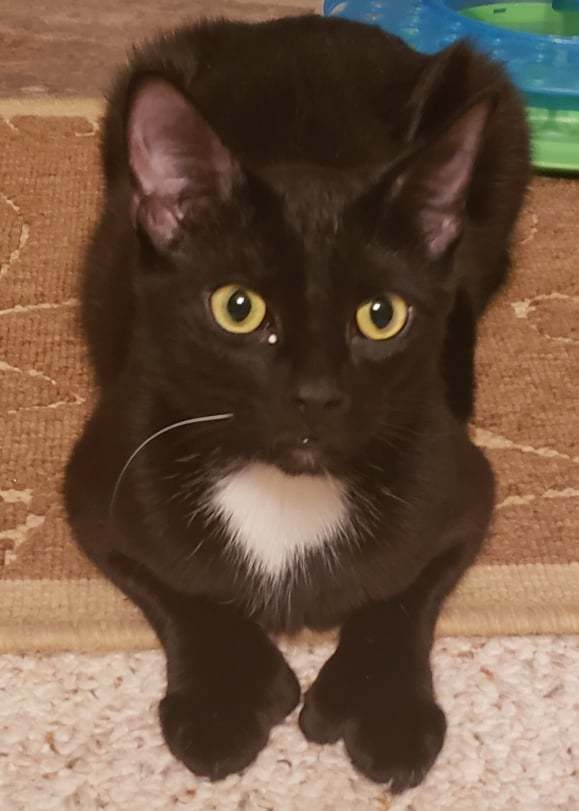 Galaxy, an adoptable Domestic Short Hair in Rochester, NY