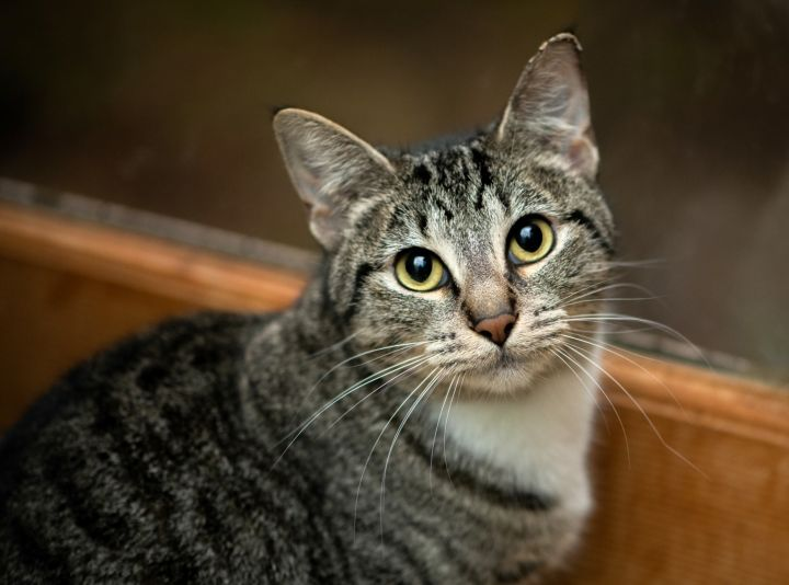 Amber, an adoptable Tabby & Domestic Short Hair Mix in Shoreline, WA
