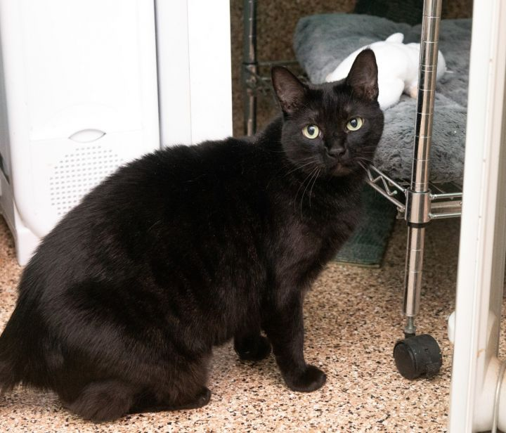 Coco, an adoptable Domestic Short Hair in Shoreline, WA
