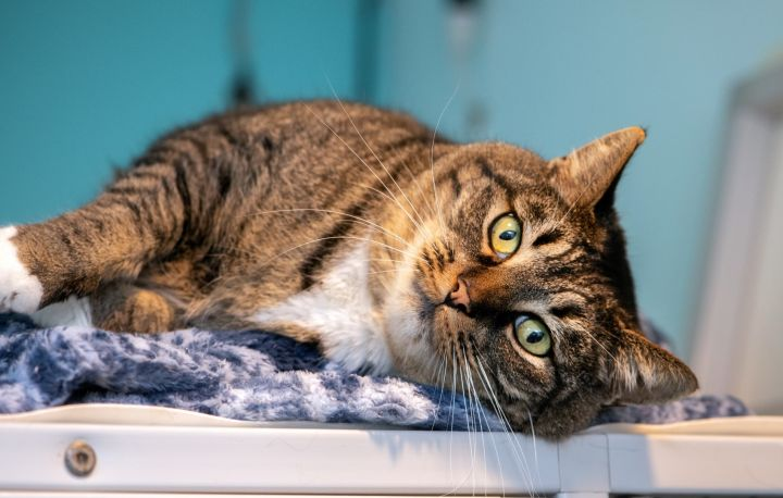Heidi, an adoptable Tabby in Shoreline, WA