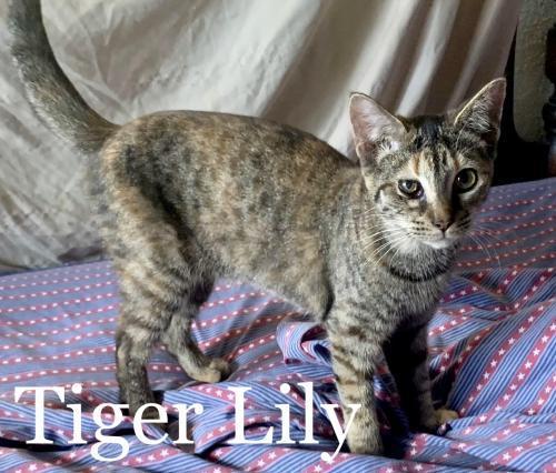 Tiger Lily 3