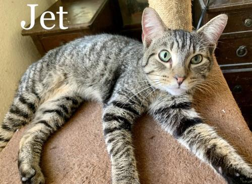 Jet, an adopted Domestic Short Hair Mix in Orlando, FL