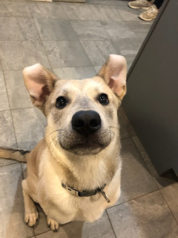 Carl, an adoptable Shepherd Mix in South Charleston, OH