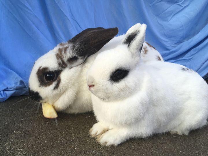 Cassius & Chloe (BONDED PAIR!) 3
