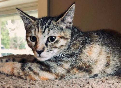 Laverne, an adopted Tortoiseshell & Tabby Mix in Springfield, OR