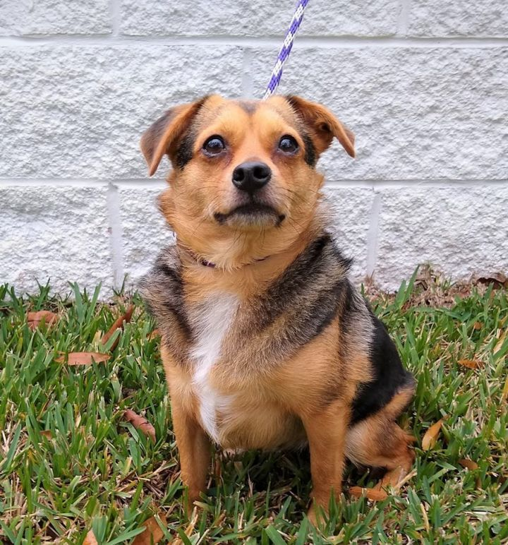Benjy, an adopted Chihuahua Mix in Palm Harbor, FL