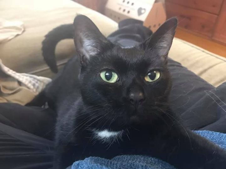 Chicken, an adopted Domestic Short Hair in Rochester, NY