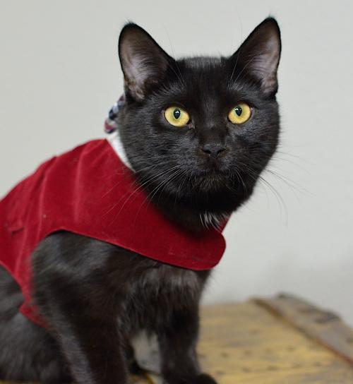 Angelito, an adoptable Domestic Short Hair Mix in Springfield, OR