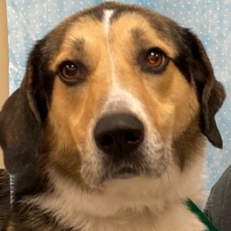 Susie, an adoptable Collie & Great Pyrenees Mix in Bloomington, IL