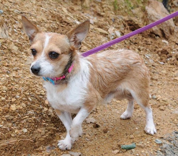 Gizmo, an adoptable Terrier in Jamestown, CA