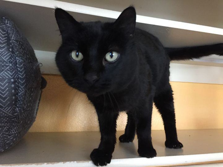 Rhodes, an adopted Domestic Short Hair in Ridgway, CO