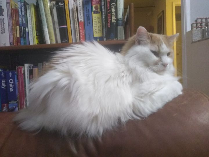 Crete, an adopted Domestic Long Hair in Ridgway, CO