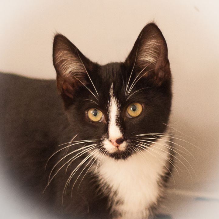 Felix, an adopted Tuxedo & Domestic Short Hair Mix in Ponte Vedra, FL