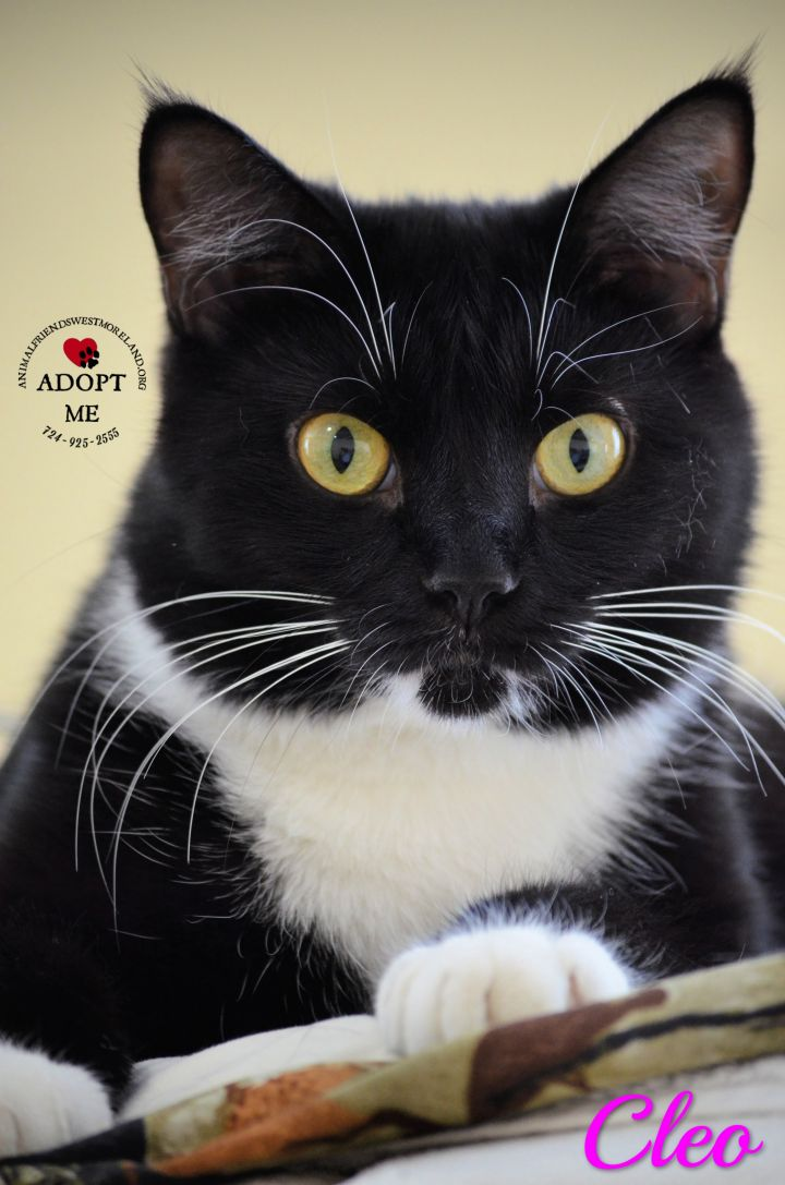 Cleo, an adoptable Domestic Medium Hair in Youngwood, PA