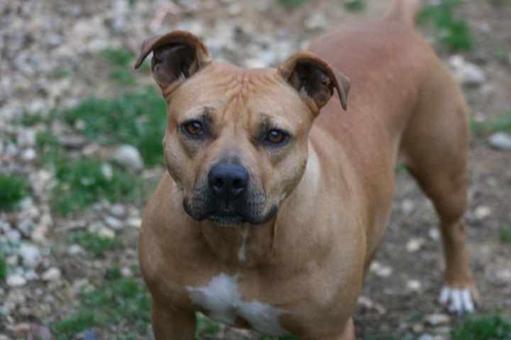 Rosie, an adopted Pit Bull Terrier Mix in Campbellsville, KY