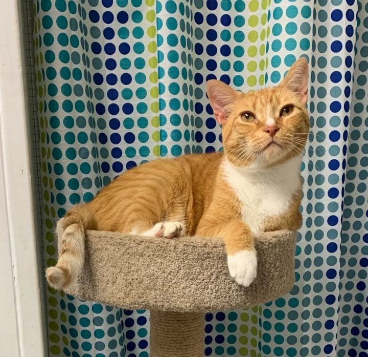 Mittens, an adoptable Domestic Short Hair in Queenstown, MD