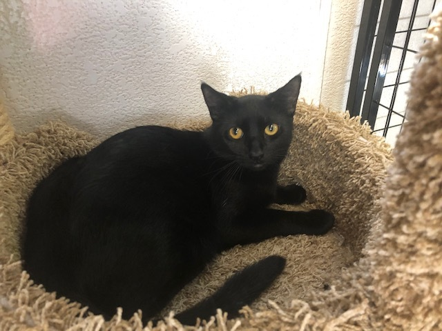 Jamba, an adopted Domestic Short Hair in Boca Raton, FL