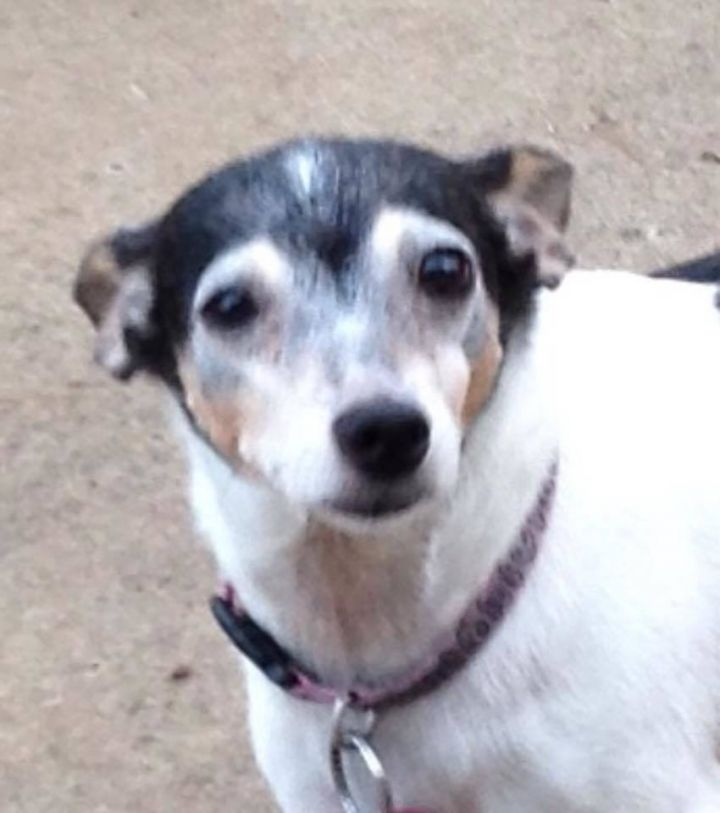 Riley in OK, an adoptable Toy Fox Terrier in Tulare, CA