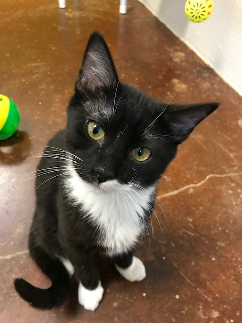 Om, an adopted Domestic Short Hair Mix in Carencro, LA