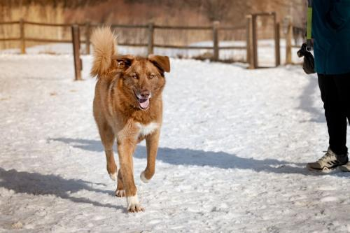 Hank, an adoptable Retriever Mix in Winter Park, CO