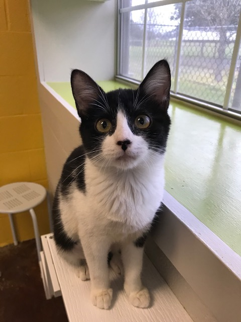 Namaste, an adopted Domestic Short Hair in Carencro, LA