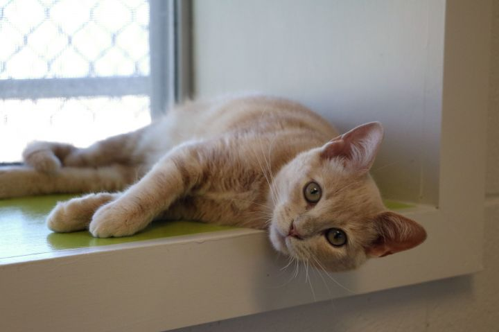George, an adopted Domestic Short Hair Mix in Carencro, LA