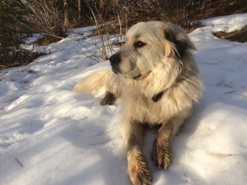 Joey, an adoptable Great Pyrenees & Bernese Mountain Dog Mix in Winter Park, CO