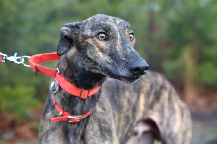 KC's Skylar, an adopted Greyhound in Richmond, VA
