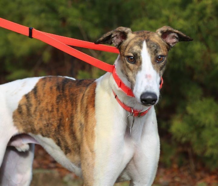 TR's Dominic, an adopted Greyhound in Richmond, VA