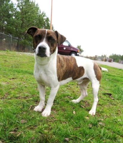 Hector, an adoptable Pit Bull Terrier & Basset Hound Mix in Carrollton, GA