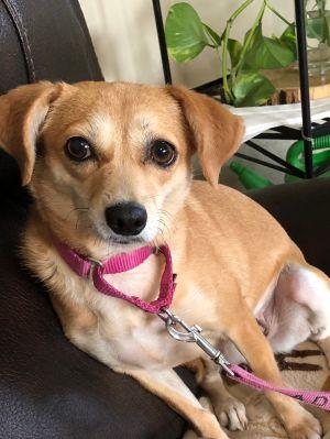 Serabi Beagle Dog