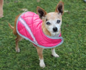 This little dog from the Porterville area is a happy and healthy companion who would love a home Sh