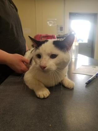rascal, an adoptable Domestic Short Hair in Clarks Summit, PA